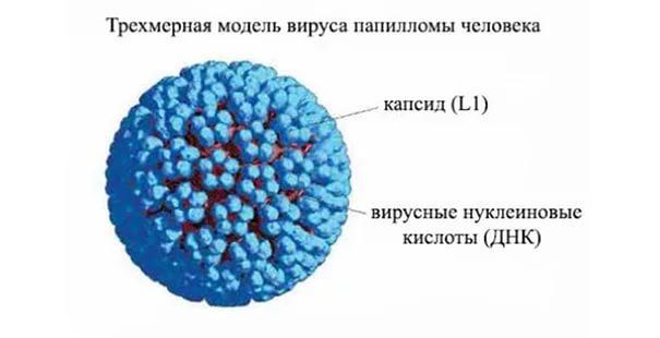 Модель вируса
